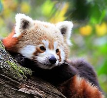 LITTLE RED PANDA -II- by mc27
