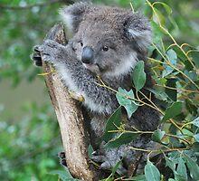 Baby Koala by DanielTMiller