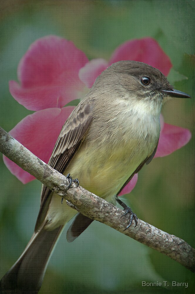 Eastern Phoebe by Bonnie T.  Barry
