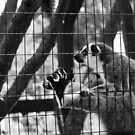 Lemur Monkey York Maine by MBWright88