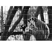 Lemur Monkey York Maine Photographic Print