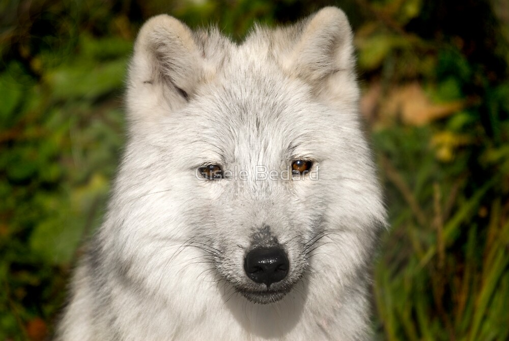 Young wolf by Gisele Bedard