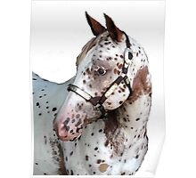 Appaloosa Yearling Horse Portrait Poster