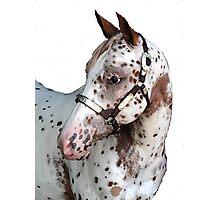 Appaloosa Yearling Horse Portrait Photographic Print