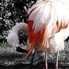 preening flamingo by tego53