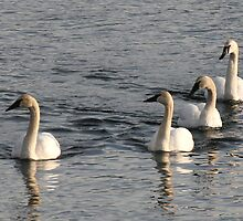 swans by axieflics