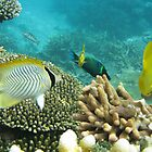 Barrier Reef fish - Under the water, snorkling by Karen Stackpole