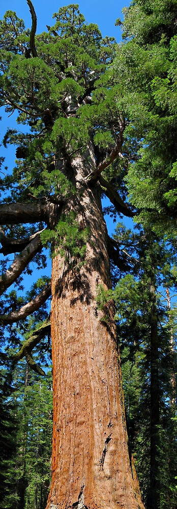Giant Sequoia by Rene Rivers