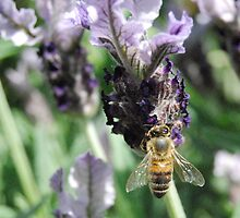 Lavender Bee by MissyD