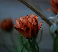Osteospermum by LOJOHA