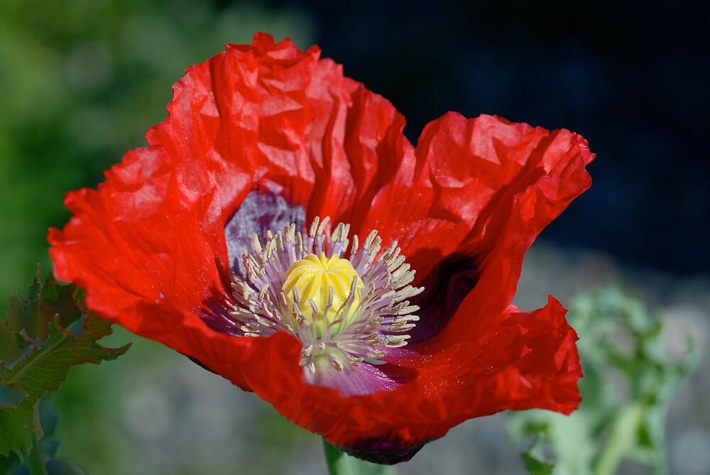 Emerging Poppy by LOJOHA