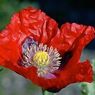 Emerging Poppy by LOJOHA