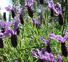 Towering Lavender by MissyD
