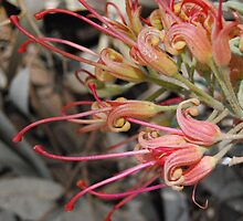 Grevillea In The Wind by MissyD
