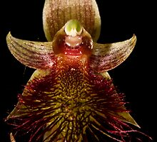 Calochilus paludosus -Beardie 2 by wazonthehill
