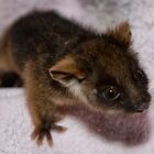 Baby Ringtail Possum by Samantha Cole-Surjan