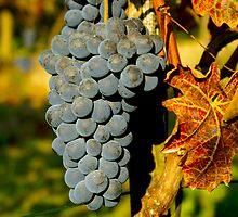 Grape of Barbera - Cherasco (Cn) - Italy by Bru66