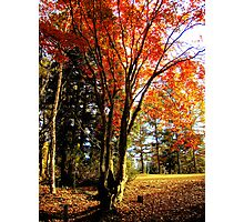 Maple Tree Photographic Print
