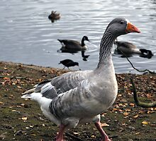 Grey Goose Walking by Andrew Cryer