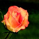 A Single  Rose by Lynda   McDonald