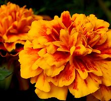 Marigolds and Springtime by flowers2love