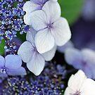 Blue Hydrangea by jeliza