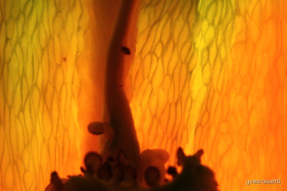 pepper's magma by yvesrossetti