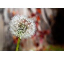 Softness of a Dandelion Photographic Print