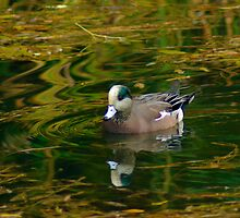 American Wigeon by Rich Summers