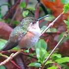 Female Rufous Hummingbird Guarding Feeder by Beth Johnston