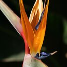 Bird of PARADISE by Joy Watson