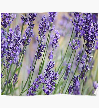 Lavender Patch Poster