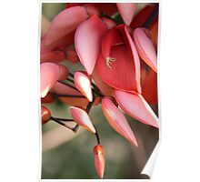Red Flowers of Buderim  Poster