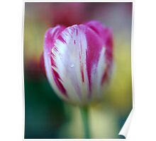 Tulip with Lensbaby  Poster