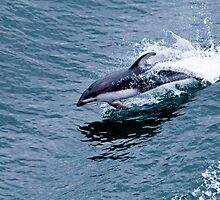 Pacific White-sided Dolphin by Dave  Knowles
