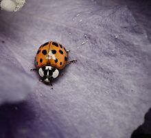 ladybug on purple flower by janko