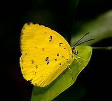 Lemon Migrant Butterfly by Margot Kiesskalt