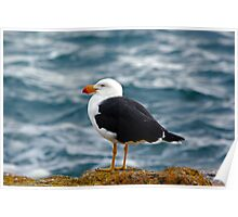 pacific gull 1 Poster