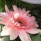 Pink gerber by Ana Belaj