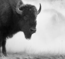 Bison in the Dust, Montana. USA. by photosecosse /barbara jones