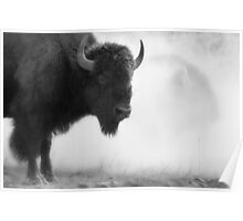 Bison in the Dust, Montana. USA. Poster