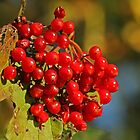 European Cranberry by Robert Abraham