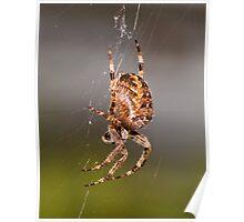 Common Garden Spider Poster