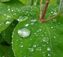 Rain on Hypericum by Jayne Le Mee