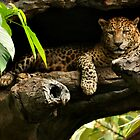Leopard by PhysioDave