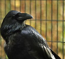 A Beautiful Old Raven by Donna Ridgway