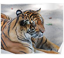 2 Tigers at rest Poster