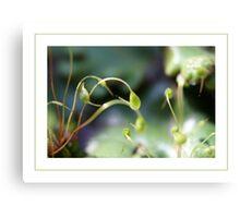 Moss sporangia Canvas Print