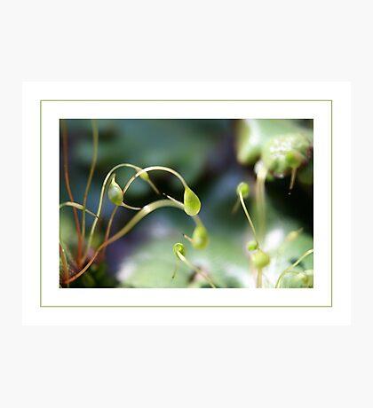 Moss sporangia Photographic Print