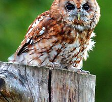 Tawny Owl by Dave  Knowles